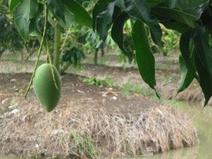 タイのマンゴー農園からお届けします。